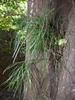 Epiphyte form