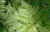 Pteridium aquilinum