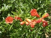 'Nana' flowers