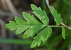 Phacelia bipinnatifida