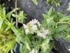 Pycnanthemum pilosum