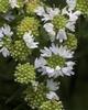 Delta Flower Scarab on Pycnanthemum tenuifolium