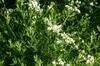 P. tenuifolium form