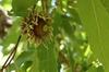 Quercus acutissima, acorn