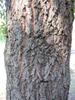 Quercus acutissima, bark