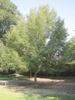 Quercus acutissima, tree