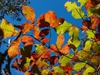 Quercus michauxii