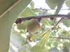 Quercus nigra, acorn
