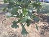 Quercus nigra, leaves