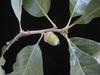 Quercus stellata, acorns
