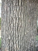 Quercus stellata, bark