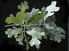 Quercus stellata, leaves