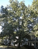 Quercus stellata, tree