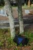 Abnormally thick diameter trunk (Martin County, FL)-Mid Winter