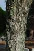 Abnormally thick diameter trunk fissured bark (Martin Co., FL)