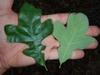 Both leaf surfaces