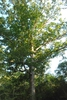 Form of tree (Brazoria County, TX)-Early Fall
