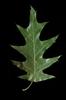 Quercus pagoda