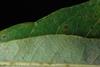Leaf margin (Pickens County, AL)-Mid Fall