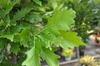 Quercus x Kindred Spirit