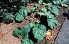 Rheum X cultorum (R. rhaponticum, R. rhabarbarum)