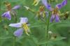 Rhexia mariana flowers