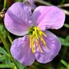 Rhexia mariana flower close up