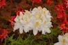 Rhododendron Exbury hybrid