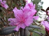 Rhododendron (PJM Group)