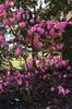 PJM Rhododendron Weston's Pink Diamond