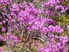 Rhododendron mucronulatum