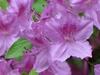Rhododendron Glenn Dale hybrids