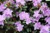 Rhododendron 'Ramapo'