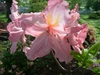 Rhododendron ;Strawberry Ice' Flower