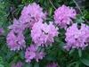 Rhododendron catawbiense 'Roseum Elegans'