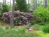Rhododendron 'Dr. A. Blok' in spring in Moore County