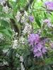 Rhododendron hybrida