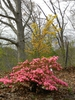 Rhododendron indicum 'Coral Bells'