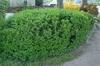 Ribes alpinum Form