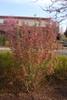 Ribes sanguineum 'Pulborough Scarlet' Form