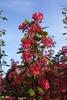 Ribes sanguineum 'Pulborough Scarlet' Flower