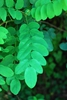Compound leaves (Forsyth County, NC)-Early Summer
