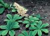Rodgersia spp.