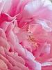 Rosa 'AUSman'