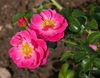 Rosa 'MELbonrib'