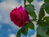 Rosa 'Madame Isaac Pereire'