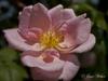 Rosa 'Mary Wallace'