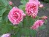 Rosa 'Pink Grootendoorst'