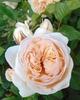 Rosa 'AUSleap' SWEET JULIET