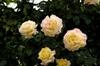Rosa wichuraiana